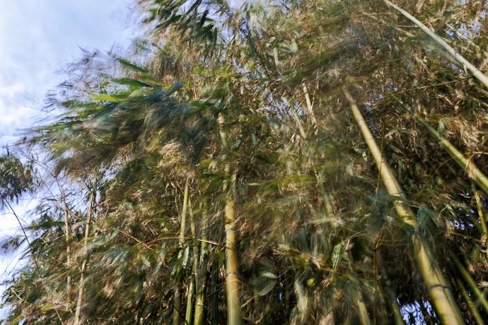 Bambú.web1jpg