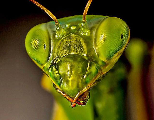 cabeza mantis