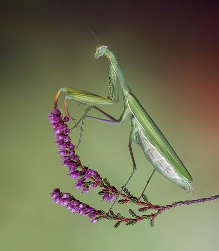 mantis-flor-wb