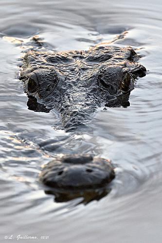 Crocodylus-moreletii-1-LG-QRoo-02_21