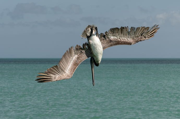Pelícano pescando