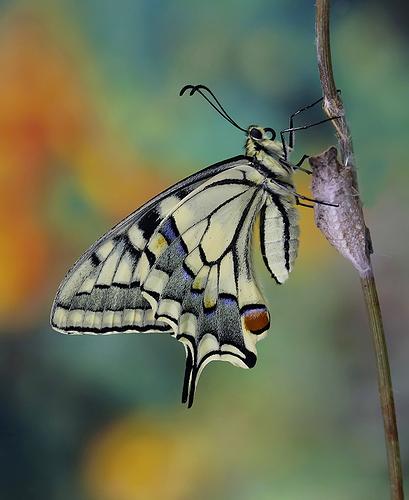 """""""Papilio macaón"""" l"""