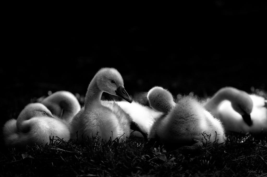 Cisnes jóvenes