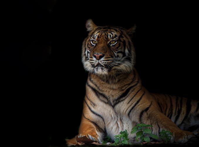 tigre-sombraweb