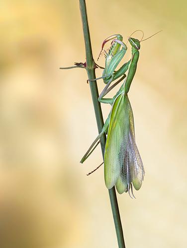 mantis-limpia-web