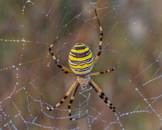 araña-normal-web