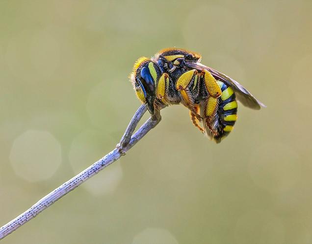 abeja-durmiendo-web