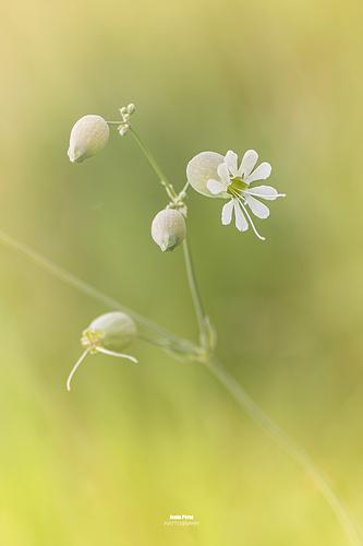 7156 La colleja (Silene vulgaris)