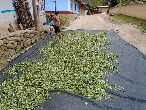 Secando la coca