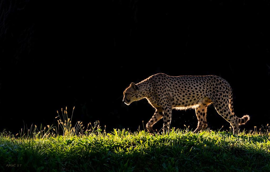 El guepardo