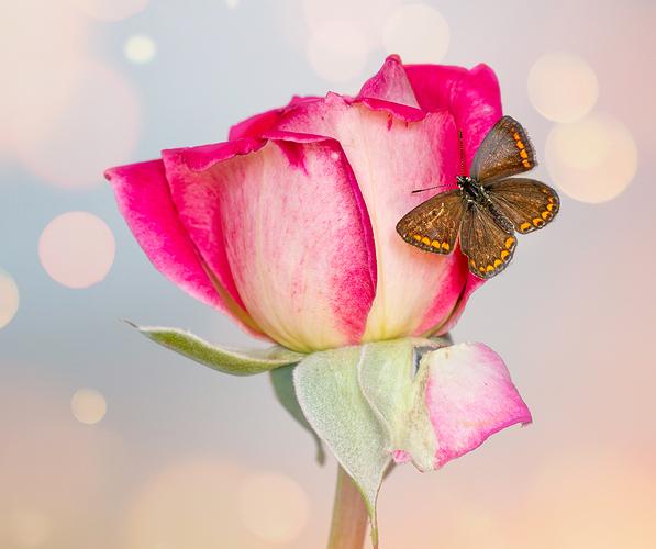 azulita rosa web