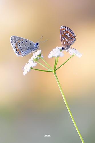 focus stacking mariposas pequeñas