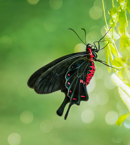 mariposa negra roja 1