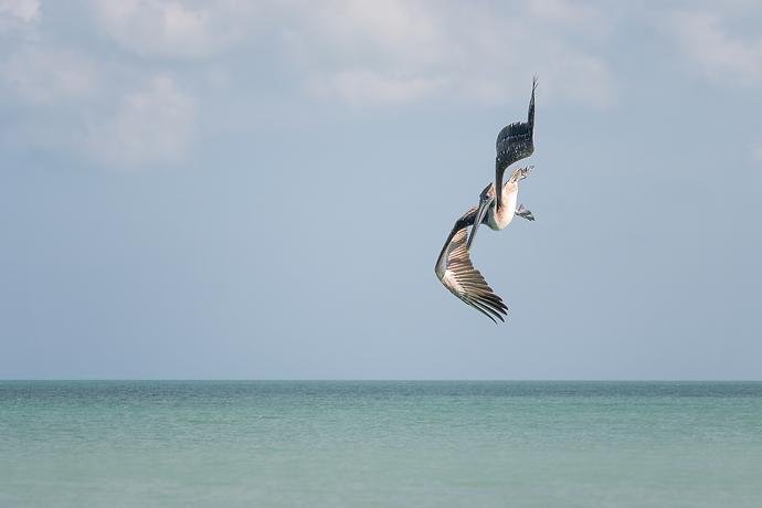 Pelicano acrobata