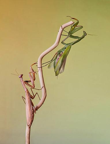 mantis-2-web