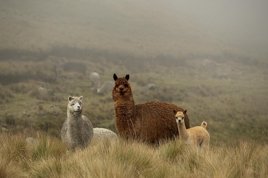 Llama, alpaca y guanaco