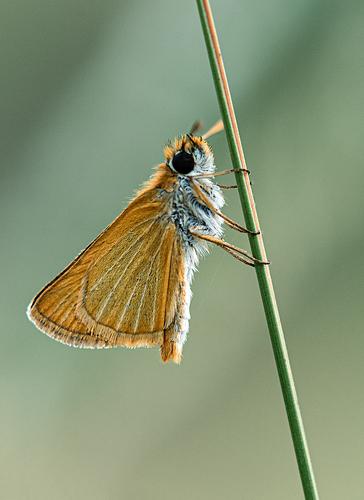 _JRL3708-Thymeliscus silvestris-1