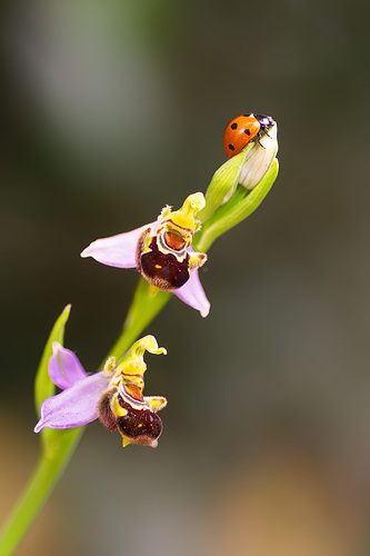 APILAMIENTO 3993, 94. Coccinellidae, más común como mariquita, catarina o conchuela, sobre una orquídea